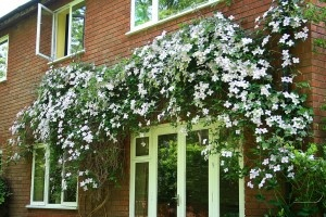 Planting Vines In Your Yard