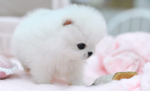 White Teacup Pomeranian Puppies Teacup pomeranian puppy