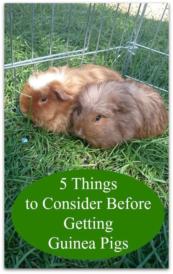 how to cut guinea pig nails that are black