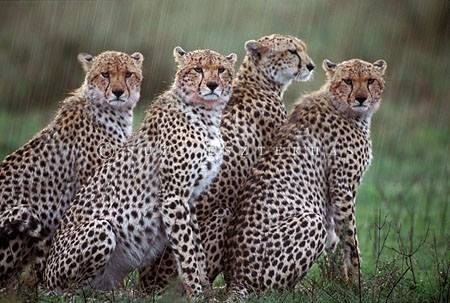 Cheetah mother and cubs, Masai Mara Reserve, Kenya by Suzi Eszterhas Wildlife Photography
