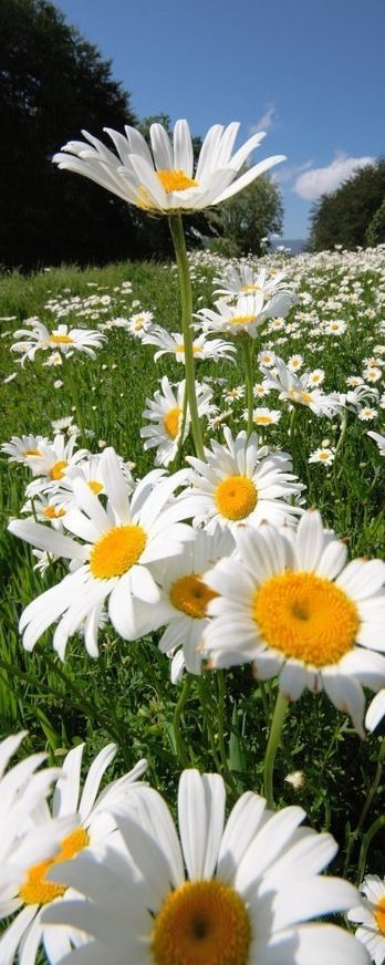 17 Best images about Garden: Daisies add color on ... Field Of Daisies
