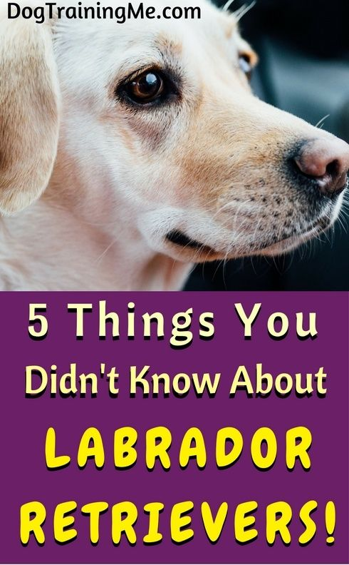Labs are incredibly gentle and love to swim in the water, but do you know why? Find out the answers to these questions and more by reading this article about labrador retrievers!