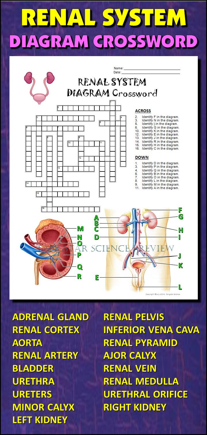 17 best images about nursing renal acute renal help students learn and remember the parts of the renal system using this diagram crossword