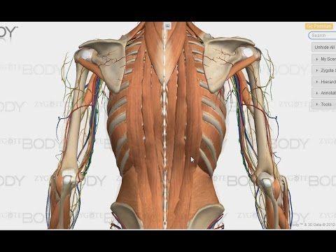 Syvien selkälihasten anatomia - YouTube