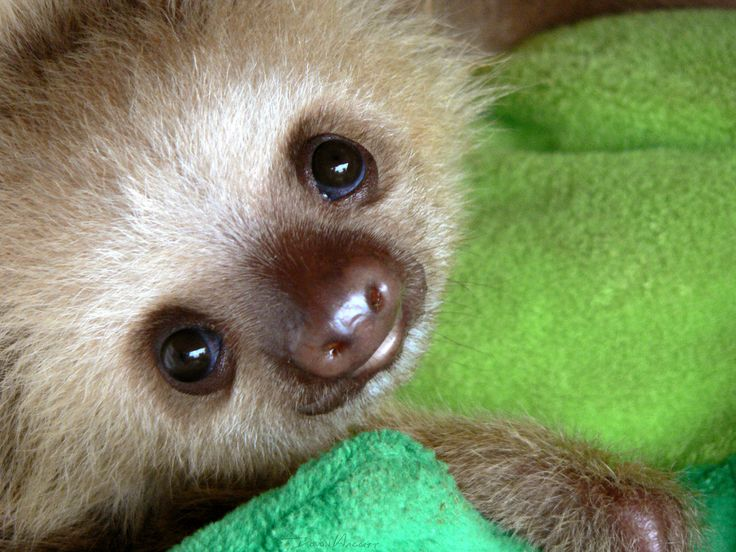 sloth baby- I got to hold one of these once- while in costa rica- it was rescued after it's mother was hot by a car. The babies hold onto their moms for many month...so as a replacement- the rescuer found a big stuff animal for the little guy to hang onto. He was adorable! Wish I could have kept him!