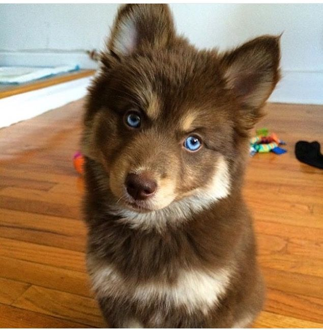 96 best images about Pom Mix Pups on Pinterest ...