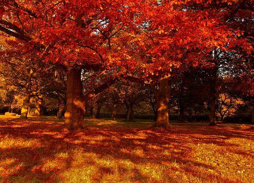 Autumnal Oak Trees