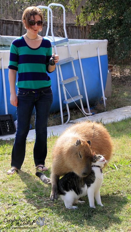 """Seeing this picture was like finding out unicorns are real.""// Just a capybara hanging out with his cat pal."