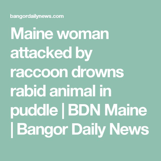 Maine woman attacked by raccoon drowns rabid animal in puddle | BDN Maine | Bangor Daily News