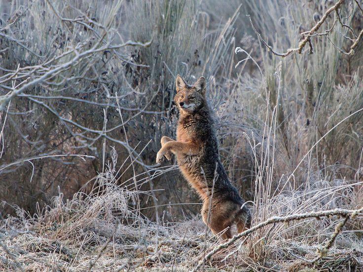 2013 Amazing Coyote Display