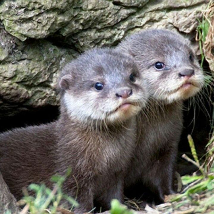Baby Otters: LOOK at those faces!!!