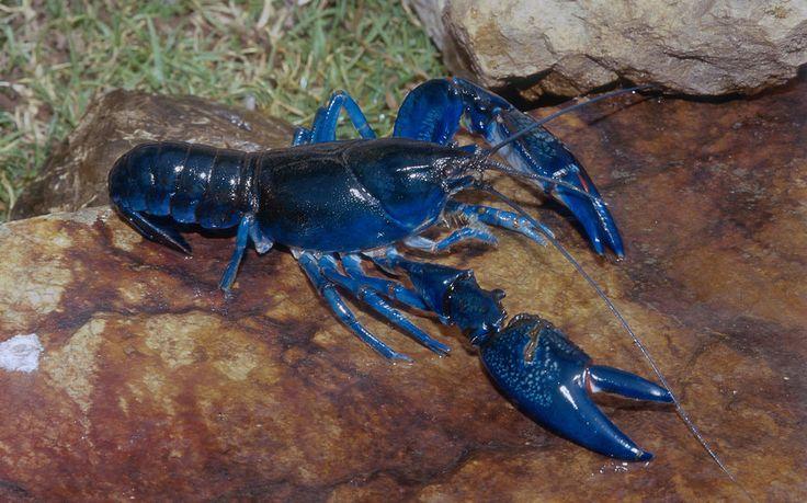 Veteran Lobsterman Just Caught His Second Blue Lobster