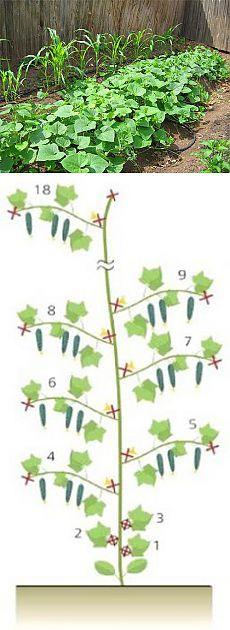 Формирование плетей огурцов - 6 соток Если прищипнуть главный побег после образования 3-4-го листа, а затем прищипывать и боковые побеги, после того ка образуются 3-4-й листья, то на ветвлениях от боковых побегов будет больше женских цветков.