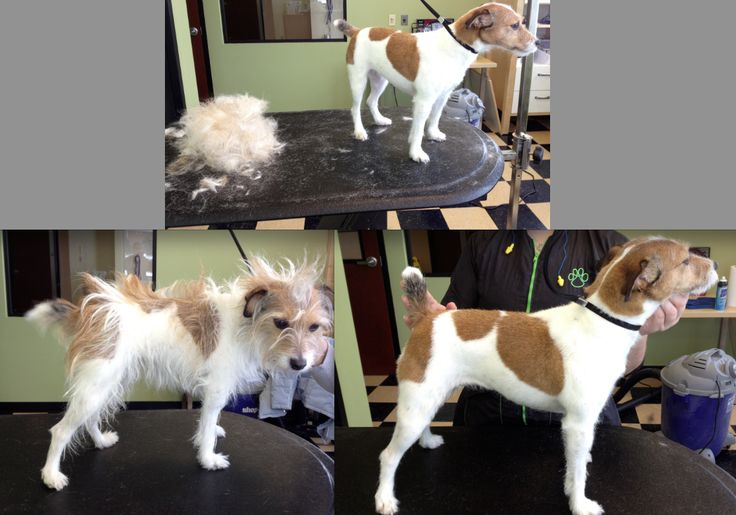 Before And After Of A Hand Stripped Jack Russell Dog