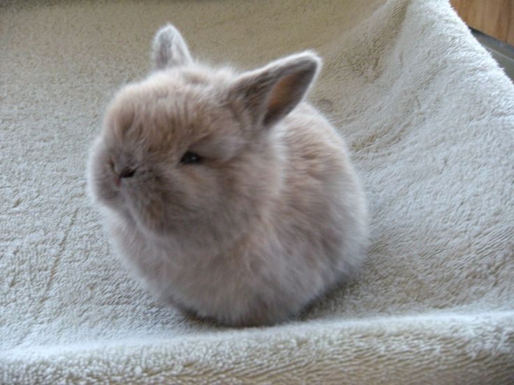 Baby Netherland Dwarf rabbit. OMGOSH.        Hey I just got one he's huge and white and his name is snowy I love him to death happy b-day to me!!!