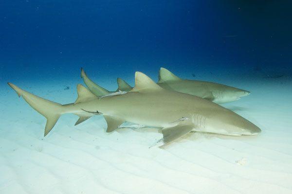 Lemon Shark   Lemon Shark Pictures - Negaprionbrevirostris Images
