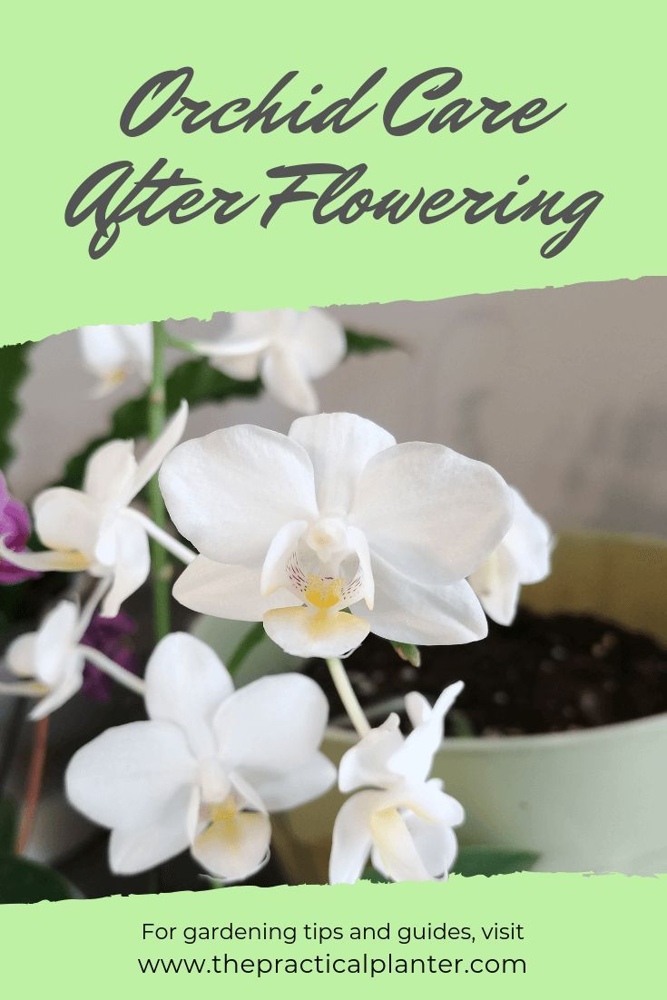 How To Properly Care For An Orchid After Flowering The Practical Planter Orchid Plant Care Orchid Care After Flowering Orchid Care