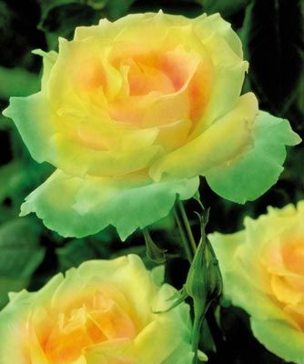 I have these ordered.... Mint Julep rose... gorgeous!