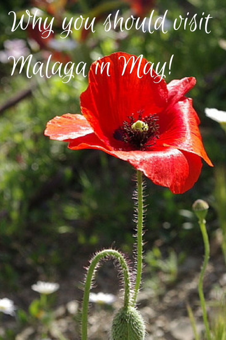 May is the best time to visit #Malaga in our opinion! The weather is gorgeous, it isn't too hot, and the flowers are blooming. Here is our list of 8 things to do in Malaga in May! http://devourmalagafoodtours.com/our-best-picks-for-things-to-do-in-malaga-in-may/