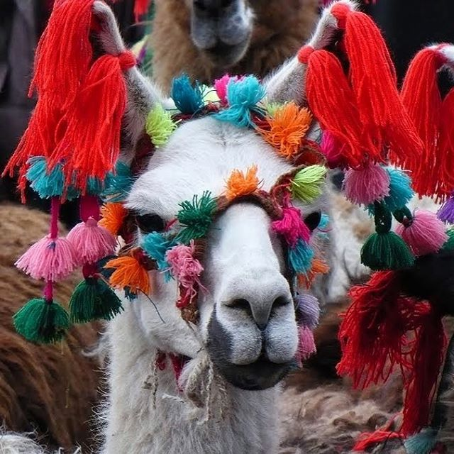 llama - Peru. Repinned by Elizabeth VanBuskirk. Llamas and alpacas are decorated by herders in a ceremony in the mountain villages to celebrate the beloved animals. However this poor llama has been overdecorated--probably for showing off to visitors.
