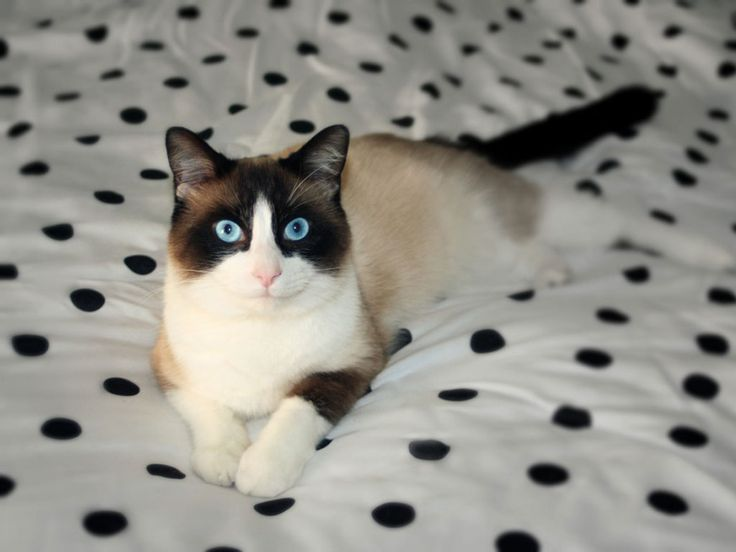 Snowshoe cat.....this is my fav cat breed.  So someday
