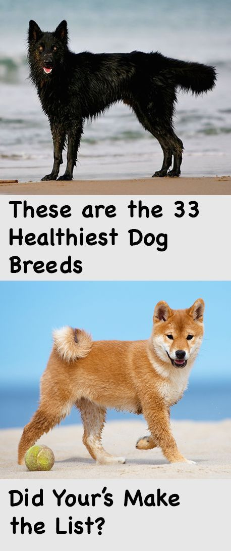 Using doggy data from Animal Planet, we found 33 dog breeds that either have a clean health record, or are associated with only one, two or three health problems at most. We looked at diseases characterized by Animal Planet as major concerns, minor concerns, and those occasionally seen. These included hereditary and genetic diseases, as well as illnesses caused by environmental factors.: