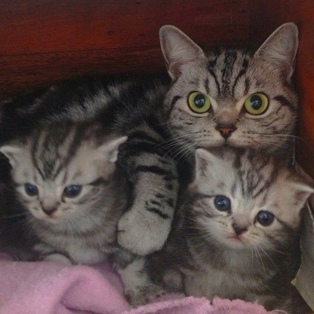 British Short Hair Puppies from Salatino Cattery.    #salatino #clubesalatino #gato #cat #cats #pet #ilovemypet #animalplanet #bestphotos #ilovemypet #bsh #british #britishshorthair #lovecats #ilovemycat