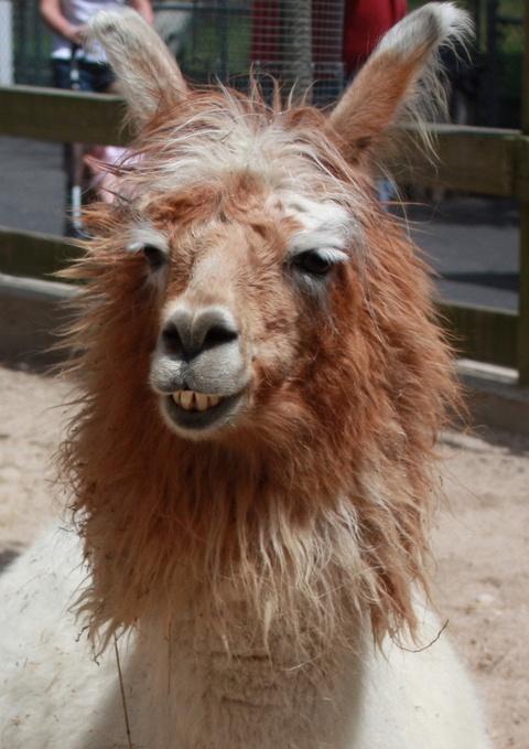 bed head alpaca