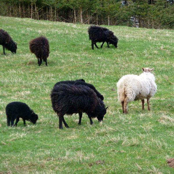 in un mondo di pecore nere, la pecora bianca è la pecora nera del gregge