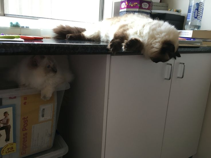 My two Ragdolls, Sasha and Jinx getting up to mischief in the studio #cat #ragdoll #manager #trouble #GGJewellery