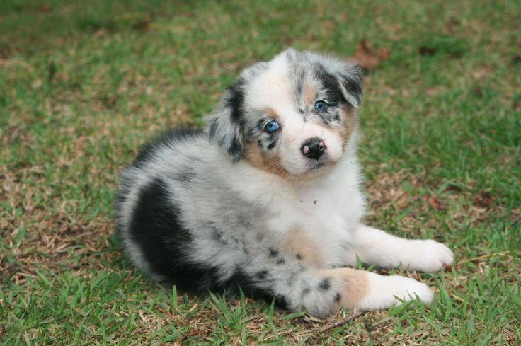blue merleBlue Merle Australian Shepherd Puppy