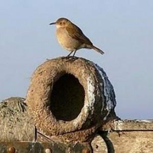 Hornero y su nido, ave autóctona de la region Pampeana Argentina