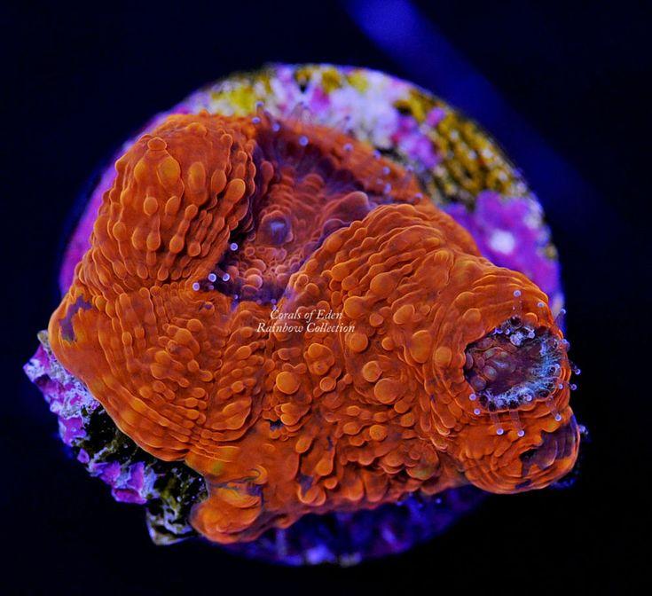 WYSIWYG Orange Blast Acan Echinata Coral Frag - Live corals for sale!