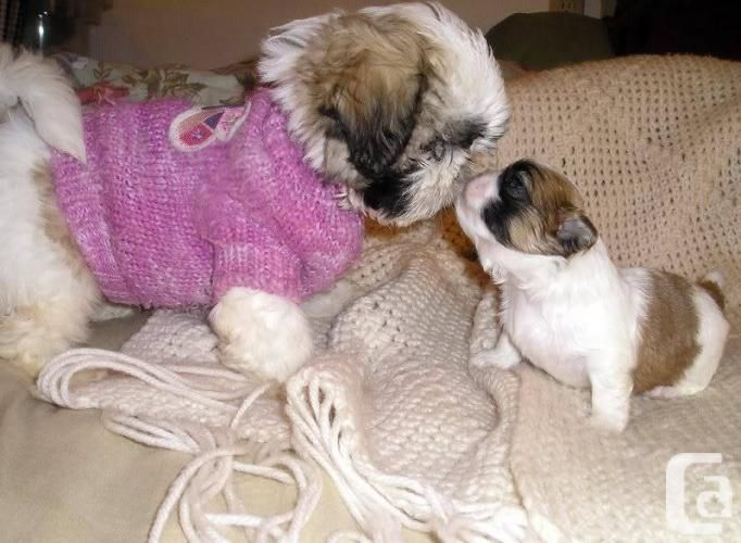 shih tzu puppies for sale in sacramento teacup shih tzu free download teacup shih tzu puppies 567