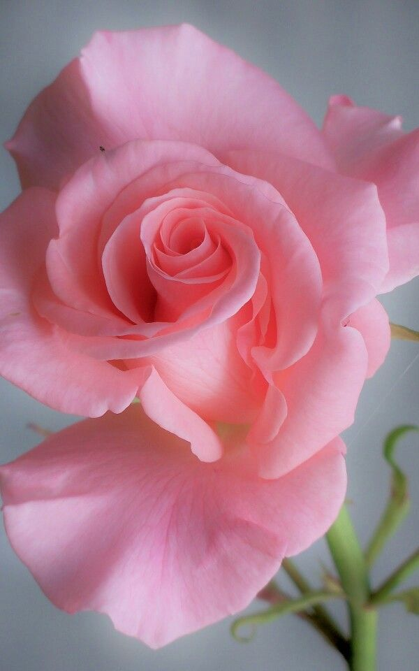Love Garden Roses: 3323 Best Images About Beautiful Flowers I Love On