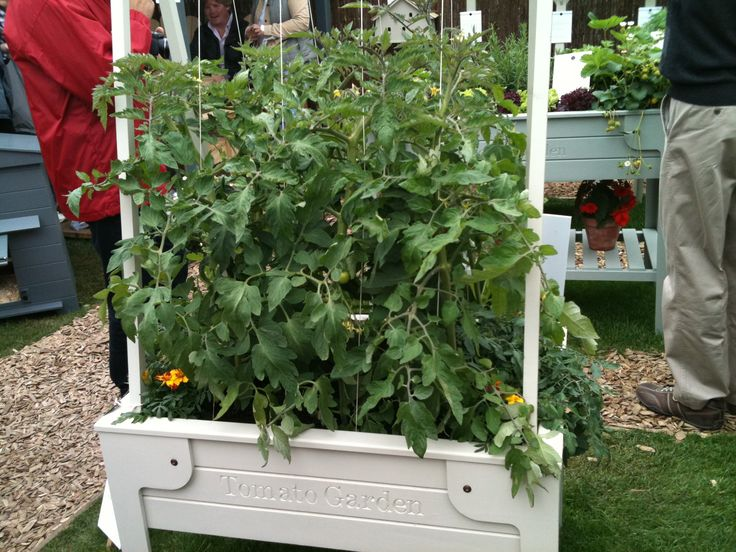 Tomatoes - Chelsea Flower Show 2011