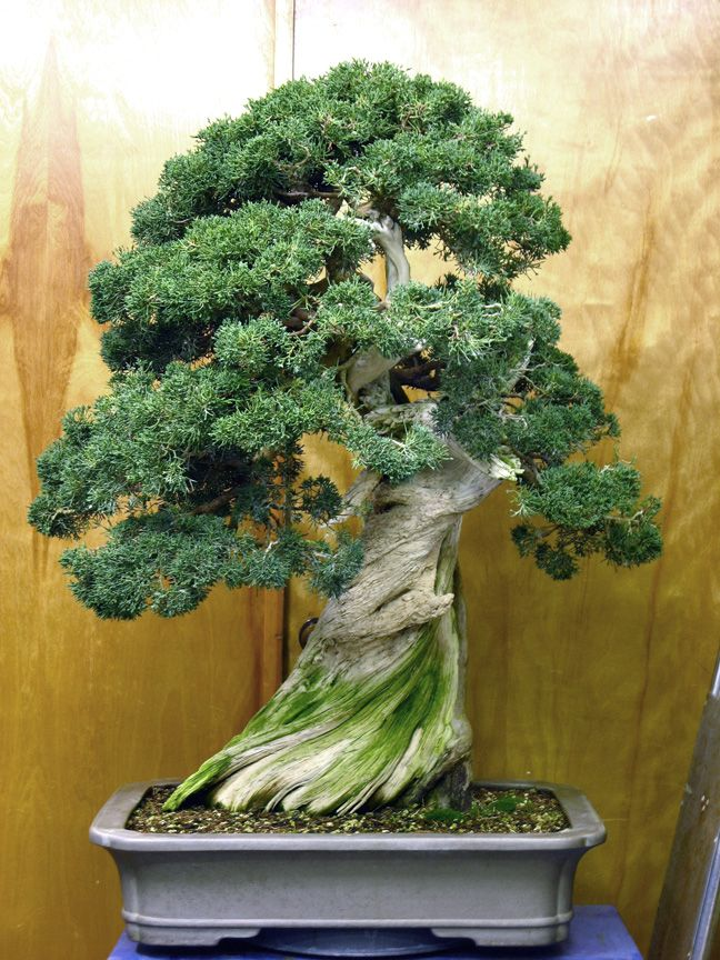 chokkan juniper bonsai