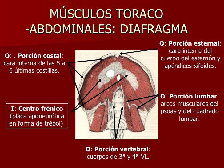 MÚSCULOS TORACO -ABDOMINALES: DIAFRAGMA O :  Porción vertebral : cuerpos de 3ª y 4ª VL. I :  Centro frénico  (placa aponeu...