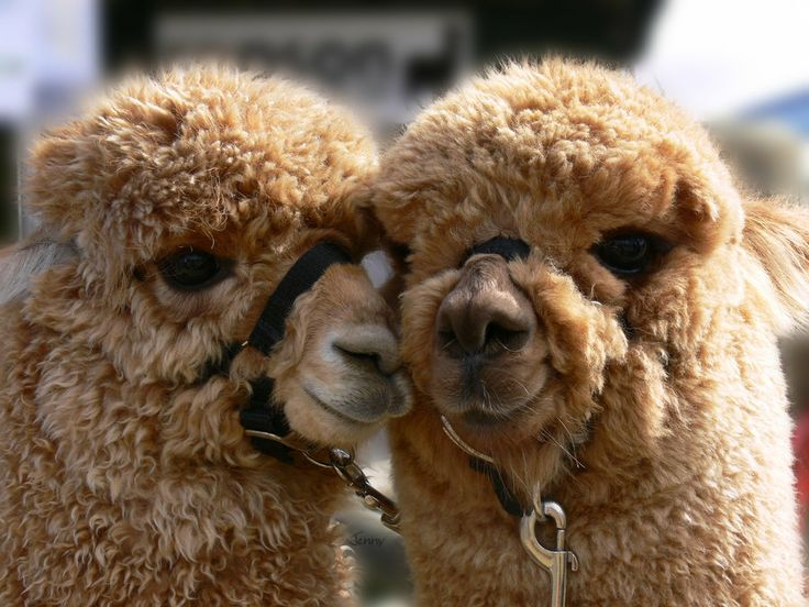 """TIL that the sound a male alpaca makes while breeding is called an """"orgle"""""""