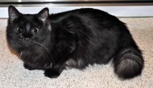Smokey is an adoptable Domestic Medium Hair Cat in McKinney, TX.  ...
