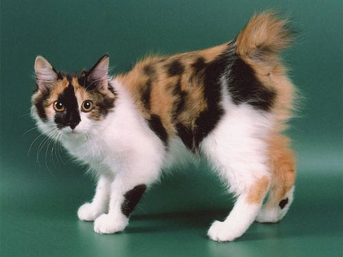 """kurilian bobtail: the Kurilian Bobtail was not developed by selective breeding. Rather, the rare cat developed naturally in the Kuril Islands, a remote archipelago claimed by both Russia and Japan. Best known for its unique """"pom-pom"""" tail, the Kurilian Bobtail is an independent, gentle and highly intelligent cat."""