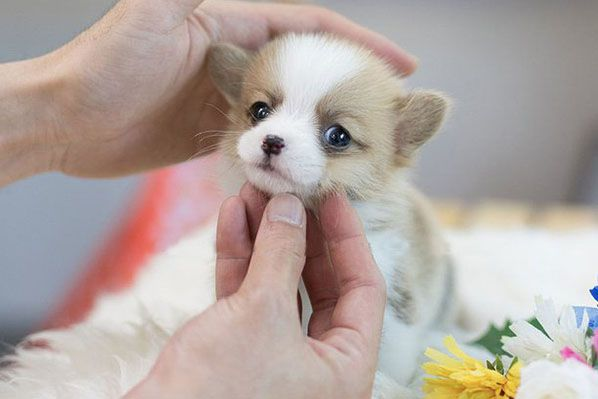 Cheap Marvelous Mini Fluffy Welsh Corgi Puppies For Sale Near Me Corgi Puppies For Sale Under 600 Ha In 2020 Corgi Puppies For Sale Puppies For Sale Cheap Puppies