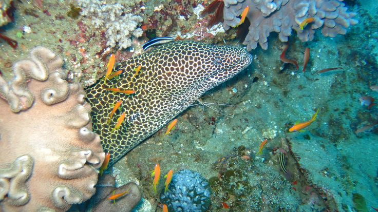 Honey comb eel being cleaned. Scuba diving in Sodwana Bay