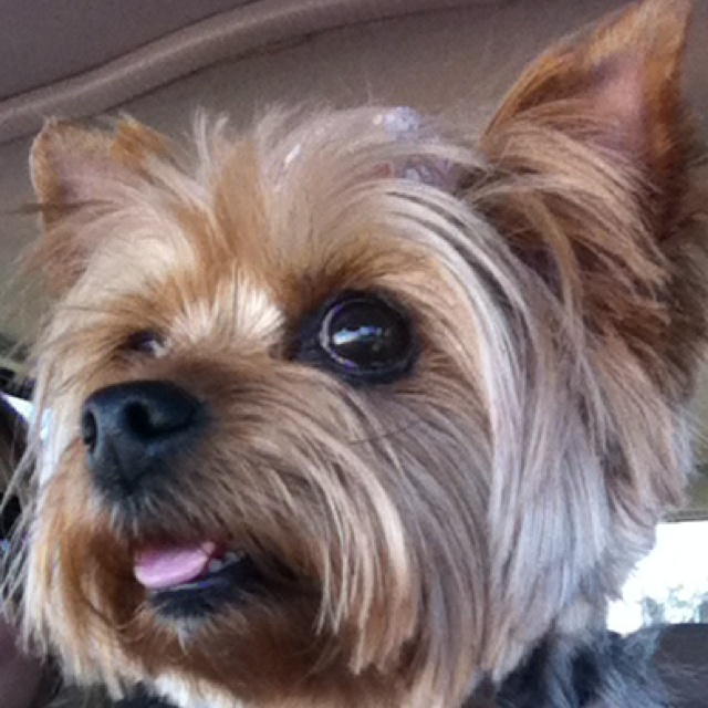 prices for haircuts 44 best yorkie haircuts images on yorkie 4968 | d7f9b7a4968fb175a4c7eb1039963ee5 good haircuts yorkie haircuts