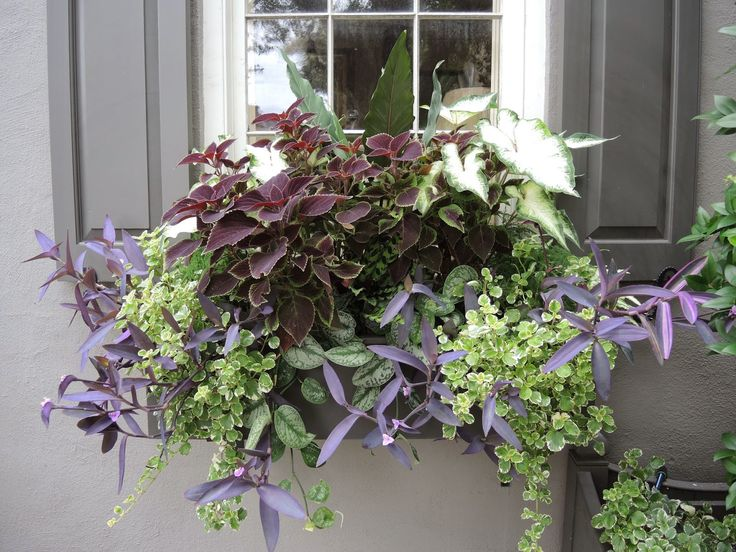 charleston window box green and purple plantings vines