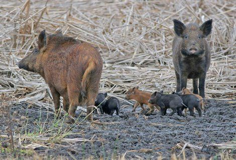 Feral pigs overrun the Everglades of Florida and are quickly overpopulating the region and when it spells over, these pigs will be pushed into populated areas.