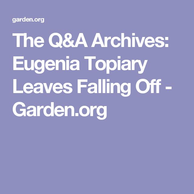 The Q&A Archives: Eugenia Topiary Leaves Falling Off - Garden.org