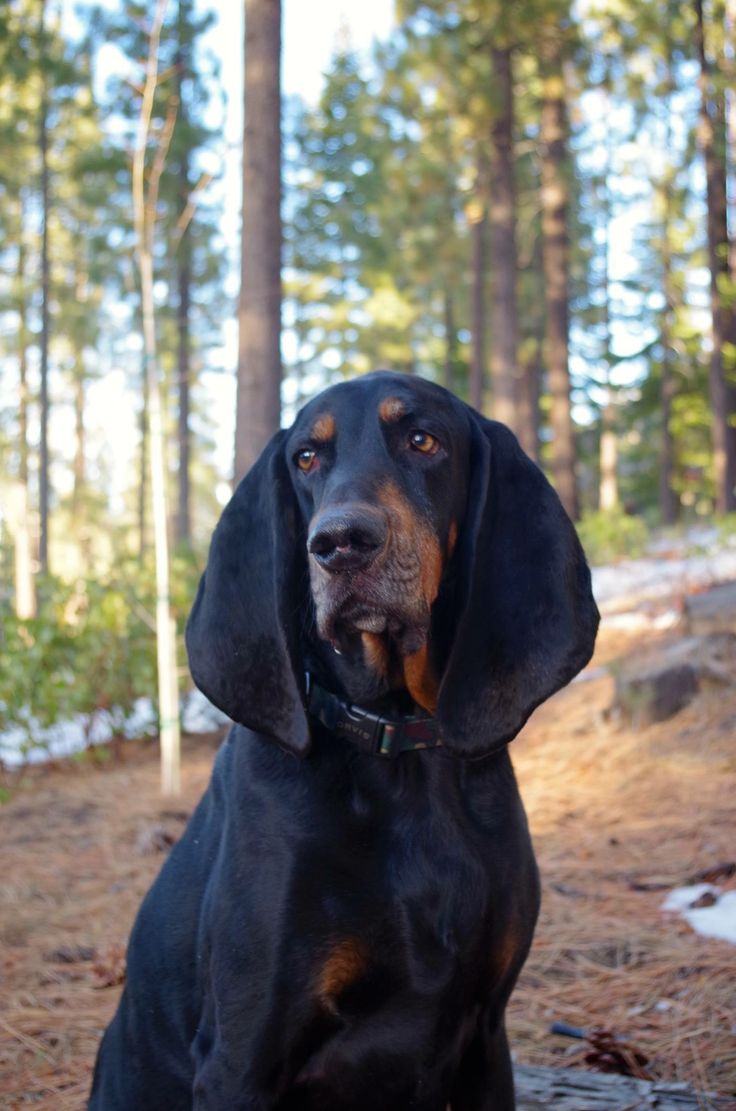 200 best Coonhounds images on Pinterest  Bloodhound Doggies and Plott hound