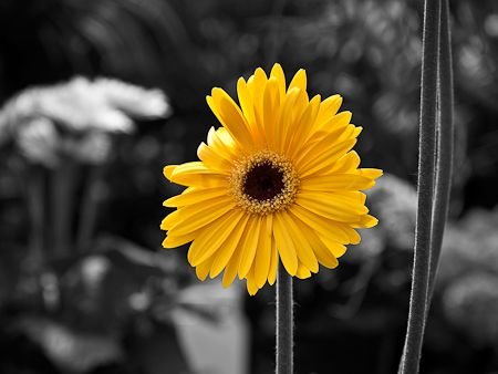 Black and yellow flowers google search