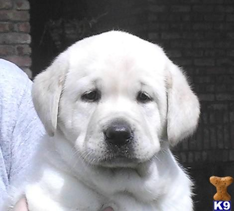 white lab.  i want you little buddy.